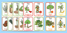 Edible Plant Parts Flash Cards Romanian Translation