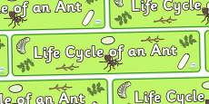 Ant Life Cycle Display Banner