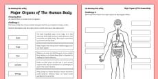Major Organs of the Human Body Activity Sheet