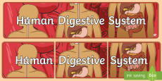 Human Digestive System Display Banner