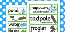 Life Cycle Of A Frog Word Cards Romanian Translation