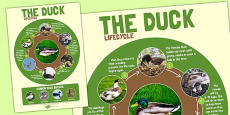 Duck Life Cycle Large Poster