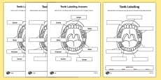 Teeth Labelling Worksheet