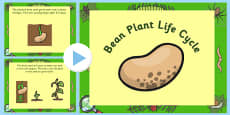 Bean Life Cycle PowerPoint