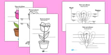 Parts of a Plant and Flower Labelling Worksheet Romanian Translation