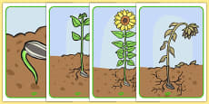 Sunflower Life Cycle Display Posters