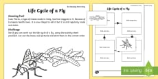 * NEW * The Life Cycle of a Fly Activity Sheet