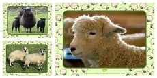 Sheep Photo PowerPoint