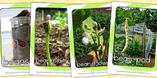 Life Cycle of a Bean Display Photo Pack (Australia)