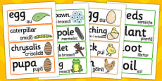 General Life Cycle Word Cards Romanian Translation