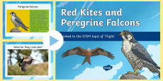 Red Kites and Peregrine Falcons PowerPoint