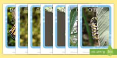 Fotografías del ciclo vital de la mariposa