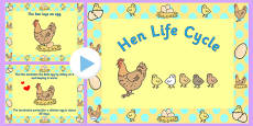 Chicken Life Cycle PowerPoint