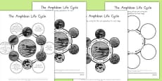 Amphibian Life Cycles