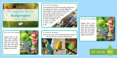 How to Care for Your Pet Budgerigar Fact Cards