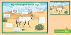Arabian Oryx Adaptations A4 Display Poster