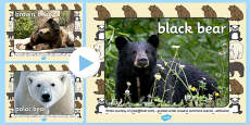 Bears Photo PowerPoint
