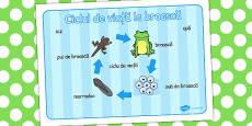 Ciclul de viață la broască - Planșă cu imagini și cuvinte