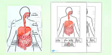 Digestive System Interactive Visual Aid