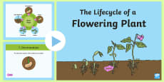 * NEW * The Lifecycle of a Flowering Plant PowerPoint
