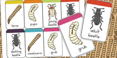 Australia - Darkling Beetle Life Cycle Flashcards