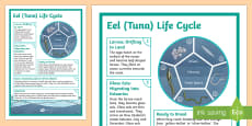 Longfin Eel Life Cycle Display Poster