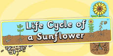 Life Cycle of a Sunflower Display Banner