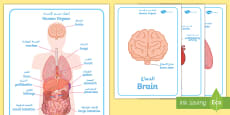 Human Body Organs Display Posters Arabic/English