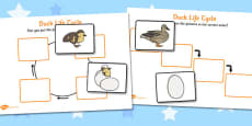 Duck Life Cycle Activity Sheets