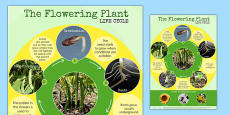 Flowering Plant Life Cycle Display Poster