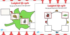 Ladybird Life Cycle Activity