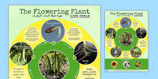 Flowering Plant Life Cycle Display Poster Arabic Translation