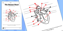 The Human Heart Labelling Activity Sheet