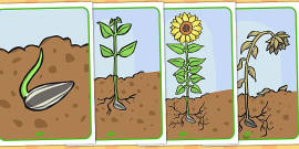 Life Cycle of a Sunflower Display Posters (Australia)