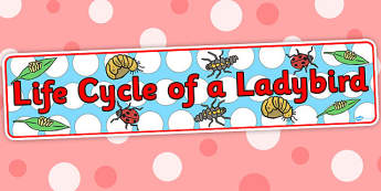 Life Cycle of a Ladybird Display Banner - Minibeast Banner, Minibeasts, Display, Topic, Foundation stage, knowledge and understanding of the world, investigation, living things, snail, bee, ladybird, butterfly, spider, caterpillar
