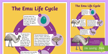 Life Cycle of an Emu Display Poster - Australian Curriculum Biological sciences, Australian animals, lifecycles, emu, ACSSU072, ACSSU030,A