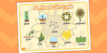 Sunflower Life Cycle Word Mat - sunflower, life cycle, word mat