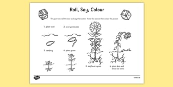 Life Cycle Of A Sunflower Roll Say Colour - plants, life cycle