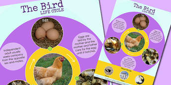 Bird Life Cycle Display Poster - lifecycle, animals, growth
