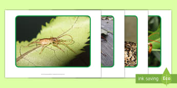 Weta Photo Pack - New Zealand, minibeasts, insects, bugs, minibeast, year 1, year 2, year 3, science, nature, living w