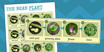 Bean Plant Life Cycle Photo Strip - bean, life cycle, photo