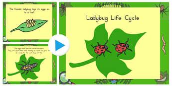 Ladybug Life Cycle PowerPoint - ladybug, life cycle, powerpoint