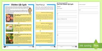 Chicken Life Cycle Differentiated Reading Comprehension Activity Arabic/English - hen, chicken, chickens, rooster, cockerel, life cycle, reading, KS1, comprehension, questions,compre