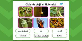 Ciclul de viață la fluture - Planșă cu fotografii și cuvinte
