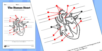 Heart Worksheet - human heart, labelling, worksheet