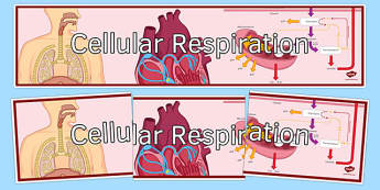 Cellular Respiration Display Banner - cellular respiration, ks3, biology, display banner