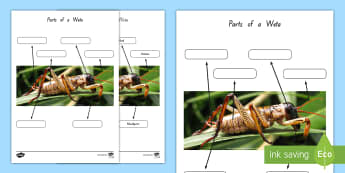 Parts of a Weta Activity Sheet - weta, insects, minibeasts, New Zealand, Years 4-6, science, living world, Worksheet