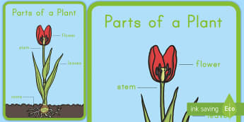 Parts of a Plant Display Poster - Early Childhood Plants, Pre-K Plants, Plants, Pre-Kindergarten Plants, K4 Plants, 4K Plants, parts o