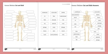 KS3 Human Skeleton Cut and Stick Activity Sheet, worksheet