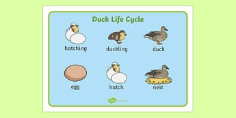 Duck Life Cycle Word Mat - duck, life cycle, word mat, animal, bird